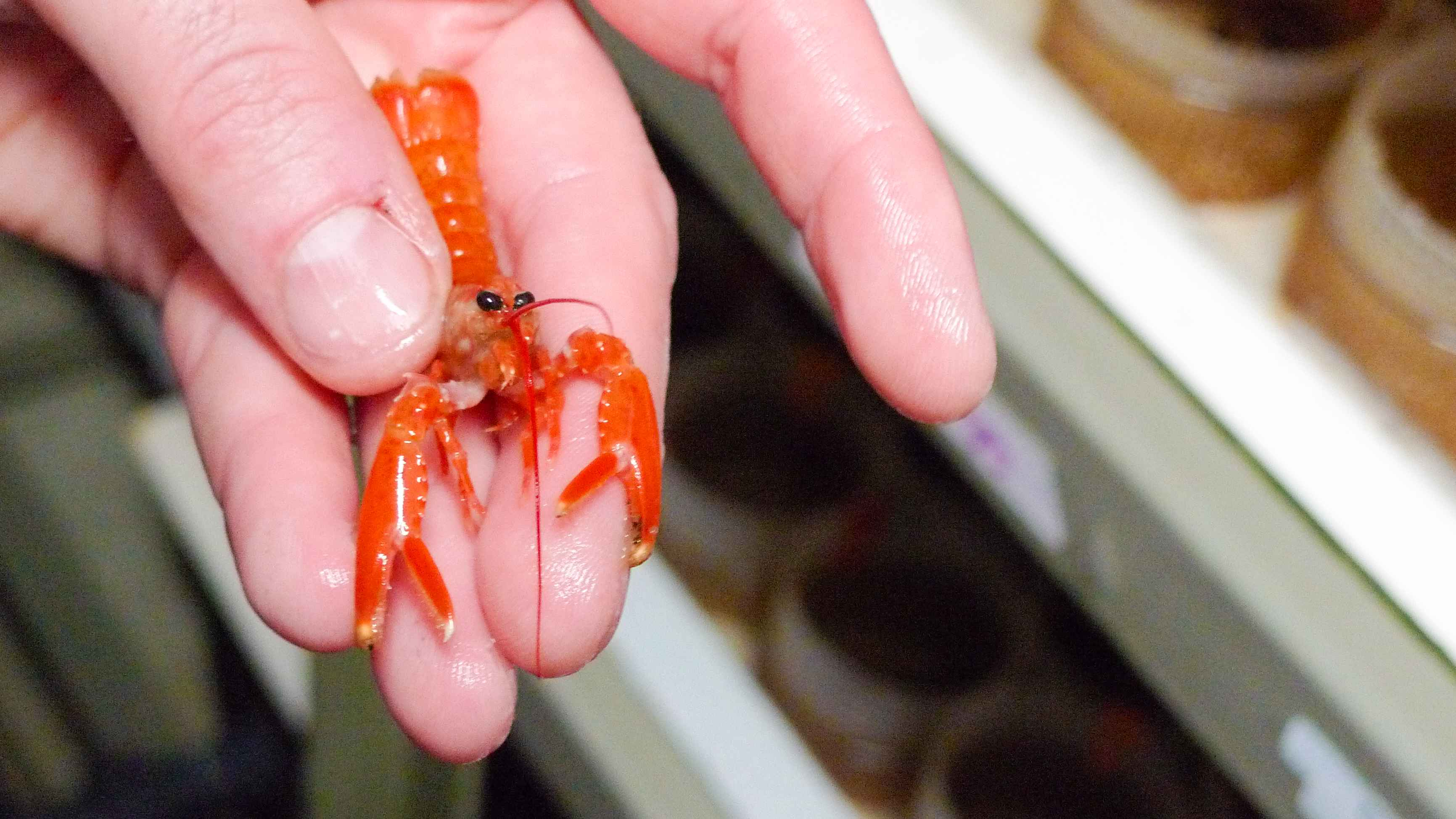 baby lobster-web